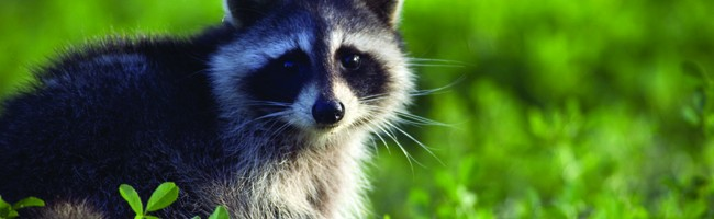 Skedaddle Humane Wildlife Control | Issues | Prevent ... Raccoon With Rabies